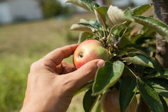 Hand picking apples from apple tree branch. Hand picking red apples from apple tree branch royalty free stock images