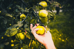 Hand picking apples directly from a tree royalty free stock images