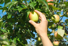 Hand picking apples in a tree at the orchard Stock Photo
