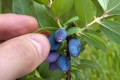 Hand picking berries honeysuckle, closeup. Hand picking berries honeysuckle in the garden, closeup stock photos