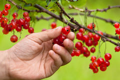 Hand picking berries of red currant, closeup Stock Photos