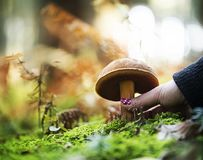 Hand is picking a  boletus erythropus Royalty Free Stock Photos