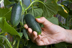 Hand picking a cucumber, closeup Royalty Free Stock Photos