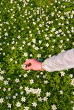 Hand picking flowers Royalty Free Stock Photography