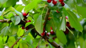 Hand Picking Fresh Delicious Cherry. This is a shot of cherry branches with lush green leaves and ripe red berries and a hand of a person picking them off the stock footage