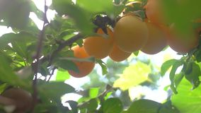 Hand picking fruits. stock footage