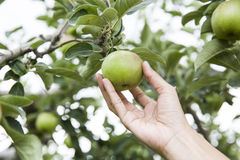 Hand picking a green apple, apple tree Stock Image