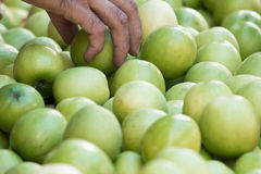 Hand picking green apples in the market Stock Photos