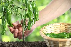 Hand picking green peppers with basket in vegetable garden, clos. E up Royalty Free Stock Photos