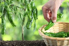 Hand picking green peppers with basket in vegetable garden Stock Image