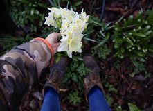 Picking Jonquil Flowers in Garden. Hand picking jonquil daffodil flowers in winter garden after rainfall royalty free stock photography