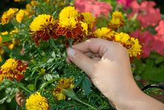 Hand picking marigold flower Royalty Free Stock Photos
