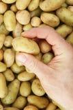 Hand picking mini potato Stock Images