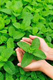Hand picking mint Royalty Free Stock Photos