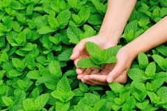 Hand picking mint stock photography