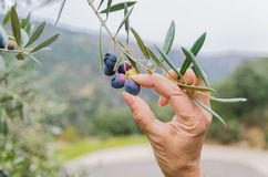 Hand picking olives Royalty Free Stock Images