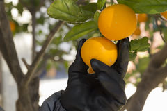 Hand picking an orange Stock Image