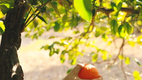 Hand picking an orange from a tree. Hand picking an orange from a tree stock video footage