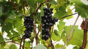 The hand picking picking some cluster or bunch of grapes. Footage of a person picking some cluster or bunch of grapes in a vineyard stock footage