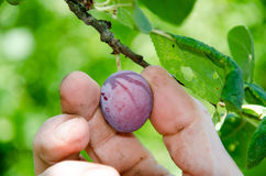 Hand picking a plum Royalty Free Stock Photography