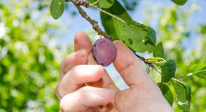 Hand picking a plum Royalty Free Stock Photos