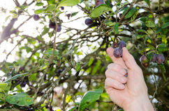 Hand picking a plum from a tree Stock Images