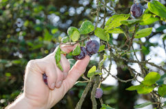 Hand picking a plum from a tree Stock Photo