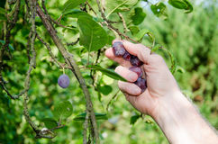 Hand picking a plum from a tree Stock Photography