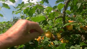 Hand picking plums from tree. Yellow fruits and green leaves. Work in garden at daytime. Sweet gifts of summer stock footage