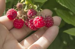 Hand picking raspberries in the Bush. Growing organic berries in the garden.  royalty free stock photo