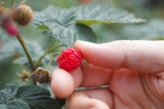Hand picking raspberry Royalty Free Stock Photos
