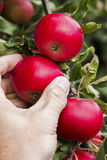 Hand picking a red apple in August. Royalty Free Stock Photos