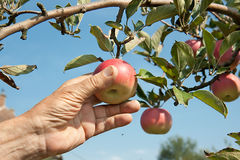 A hand is picking a red apple from a tree Royalty Free Stock Photos