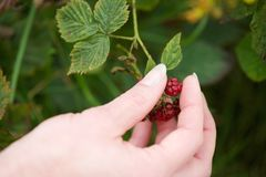Hand picking red berry fruit from plant Royalty Free Stock Image