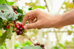 Hand picking red coffee beans on coffee tree (Arabica coffee). Hand picking red Arabica coffee beans on coffee tree - hand focused Stock Images