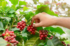 Hand picking red coffee beens on coffee tree Royalty Free Stock Image