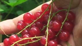 The hand picking red currants. stock video footage