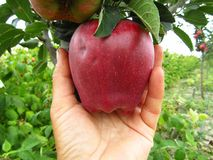 Hand picking a red apple from the organic garden, close-up. Hand picking a ripe red apple on a branch of `Malus pumila` young tree in the organic garden. Close royalty free stock images