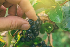 Hand picking ripe aronia berry fruit from the branch. Selective focus Stock Photos