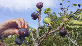Hand picking of ripe figs Stock Photography