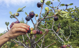 Hand picking of ripe figs Royalty Free Stock Images