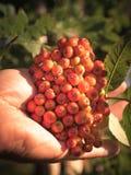 Hand picking ripe rowan berries at home. Hand picking ripe rowan berries royalty free stock image