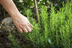 Hand picking rosemary Royalty Free Stock Photos