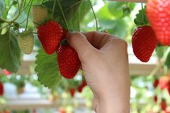 Hand picking strawberries in a greenhouse, red and green background. Strawberries in a greenhouse, picking strawberries Royalty Free Stock Image