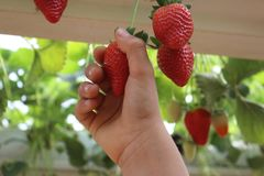 Hand picking strawberries in a greenhouse, red and green background. Strawberries in a greenhouse, picking strawberries Stock Images