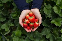 Hand picking strawberry fruits out of trees directly at organic farm. Travel and picking fruit directly at Japan and fresh fruit product concept. top view royalty free stock photo