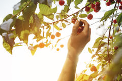 Hand picking a sweet cherry fruit in backlight Stock Photos