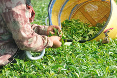 Hand picking tea leaves in a tea plantation Royalty Free Stock Photography