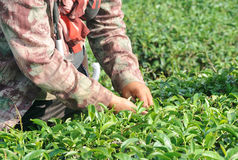 Hand picking tea leaves in a tea plantation Royalty Free Stock Image