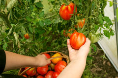 Hand picking tomatoes from the plant in greenhouse Royalty Free Stock Image